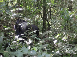 Another common view; back of gorilla
