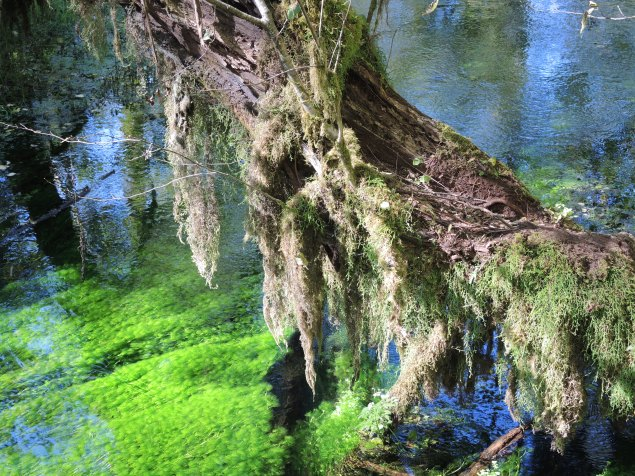 Crystal clear water on the Hall of Mosses loop trail, Hoh Rainforest